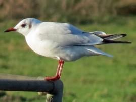 black headed gull winter (2)