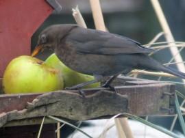 blackbird & apple (3)