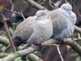 collared doves (2)