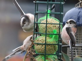 longtailed tits3 (2)