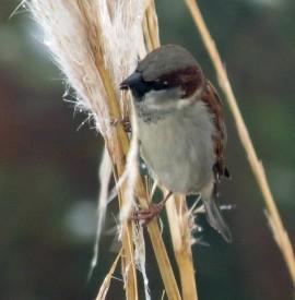 sparrow & pampas